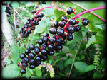 pokeberries-at-the-farm-9-23-2012-6-22-08-pm.jpg
