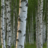 Implacable Birch